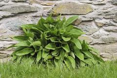 Comfrey symphytum officinale welfare herb at the bottom of a stone wall Stock Photos