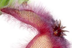stapelia hirsuta south africa - stock photo