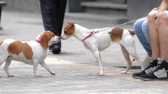 Terrier dog interacting and sniffing another dog, FULL SHOT, Mexico City. Arkistovideo