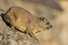 Stock Photo of rock dassie augrabies falls national park, south africa