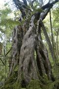 rain forest, bird sanctuary ulva island, stewart island, new zealand - stock photo