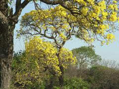 Chaco landscape in spring with typical trees: foreground: paratodo with yello Stock Photos