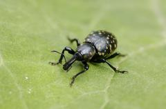 snout beetle, weevil, curculionidae, liparus glabirostris on green leave - stock photo