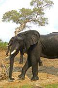 Elephants, loxodonta africana, after a bath, chobe, botswana Stock Photos