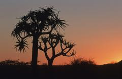 quiver tree (aloe dichotoma) in afterglow, namibia, africa - stock photo