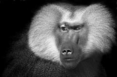 Portait von einem Pavian in schwarz weiss schaut neugierig Stock Photos
