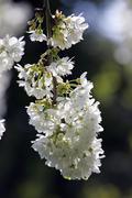 Flowering cherry (prunus avium) Stock Photos