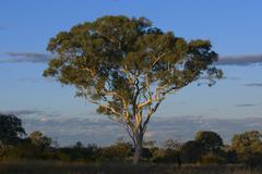 eucalypt in karijini np, westaustralia, australia - stock photo