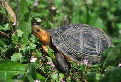 Yellow-margined box turtle (cuora flavomarginata) critical endangered due ove Stock Photos