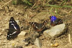 Male purple emperor apatura iris and two male lesser purple emperors apatura  Stock Photos