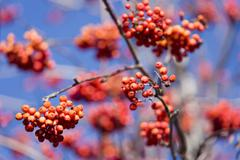 Stock Photo of rowan berries (sorbus aucuparia)