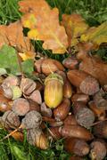 Fall forest floor: acorns and oak leaves (quercus robur) Stock Photos