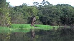 Amazon dead tree by grassy lake margin  Stock Footage
