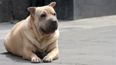 Shar pei dog resting in the sidewalk, FULL SHOT, Mexico. Stock Footage