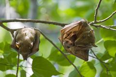 Peters\'s epauletted fruit bat (epomophorus crypturus) with pup, moremi natio Kuvituskuvat