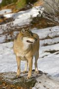 Gray wolf or timber wolf (canis lupus), bavarian forest national park, bavari Stock Photos