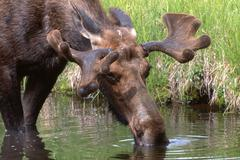 Elk or moose (alces alces) drinking from a stream, grand teton national park, Stock Photos