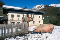 Domestic pig (sus scrofa domestica), bolzano-bozen, italy, europe Kuvituskuvat