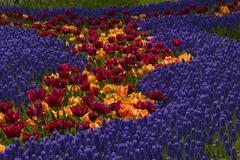 Gardens with grape hyacinth (muscari armeniacum) and tulips (tulipa), keukenh Stock Photos