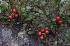 bearberry, kinnikinnick or pinemat manzanita (arctostaphylos uva-ursi), marte - stock photo