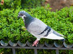 Grey pigeon on fence by green bush. - stock photo