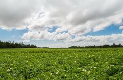 Green field of potatoes Stock Photos