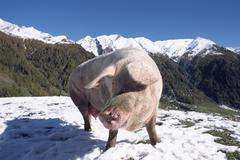 Domestic pig (sus scrofa domestica) in the mountains, south tyrol, italy, eur Kuvituskuvat