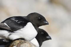 two little auks or dovekies (alle alle), spitsbergen, norway, scandinavia, eu - stock photo