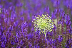 Allium (Allium) in a field of Meadow Clary or Meadow Sage (Salvia pratensis) Stock Photos