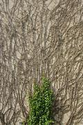 recently grown vegetation on a the wall of a house - stock photo