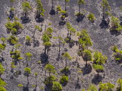 Spain, Canary Islands, La Palma, Fuencaliente, Canary Island Pines , Pinus Stock Photos