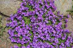 large-flowered aubrieta, rock cress or rockcress (aubrieta x cultorum), flowe - stock photo