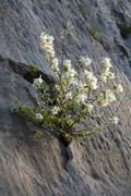 Snowy mespilus (amelanchier ovalis), tratzberg, tyrol, austria, europe Stock Photos