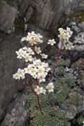 White mountain saxifrage (saxifraga paniculata), grosser gamsstein, tux alps, Stock Photos