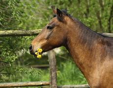 andalusian horse chewing on dandelion - stock photo