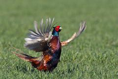 male common pheasant (phasianus colchicus) flapping its wings, courtship disp - stock photo