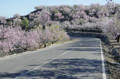 highway between blossoming almond trees (prunus dulcis, prunus amygdalus), ta - stock photo