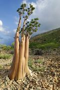 Socotra desert rose or bottle tree (adenium obesum sokotranum), socotra islan Stock Photos