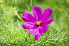 Single blossom of Mexican Aster, Cosmea, at sunlight - stock photo