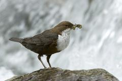 White-throated dipper (cinclus cinclus), wolfsklamm, stans, north tyrol, aust Stock Photos