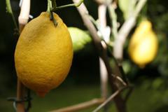 lemons (citrus × limon) on a tree - stock photo
