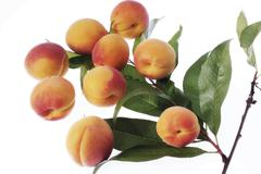 fresh apricots (prunus armeniaca) on a branch with green leaves - stock photo
