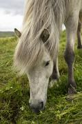 Portrait of grazing Icelandic horse - stock photo