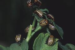 colorado potato beetle (leptinotarsa decemlineata) - stock photo