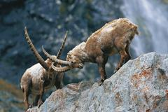 Stock Photo of male alpine ibexes (capra ibex), locking antlers, fighting, east tyrol, austr