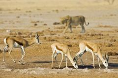 Lioness (panthera leo) hunting for a springbok (antidorcas marsupialis), nxai Stock Photos