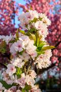 White blossoms of apple on a background of pink sakura tree Stock Photos