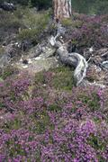 Stock Photo of scots pine (pinus sylvestris), winter heath (erica herbacea), mieminger plate
