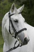 Portrait of a white warmblood horse (equus caballus) Stock Photos