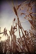 Barley field at back light Stock Photos